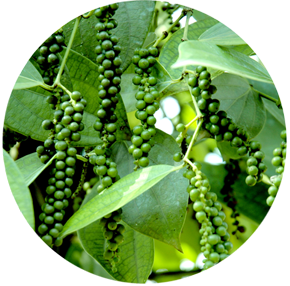 Pepper Varieties | ICAR-Indian Institute of Spices Research